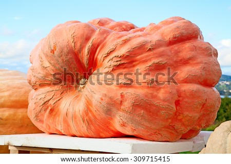 Giant pumpkin, winner of the pumpkin contest on the autumn market