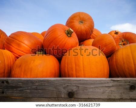 Giant pumpkins on blue sky, horizontal