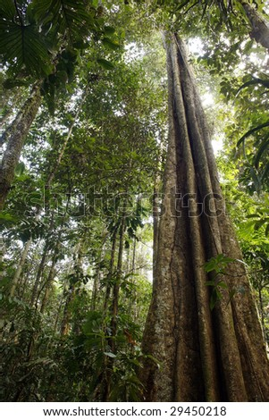 Giant rainforest tree reaching to the canopy - stock photo