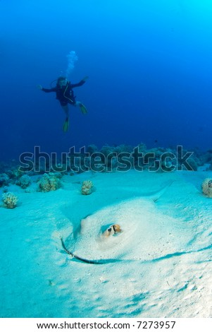 Giant ray in the sand with woman diver