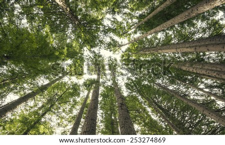Giant Redwood forest view from below - stock photo