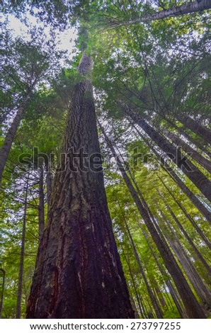 Giant redwood trees in Redwood national park, California. - stock photo