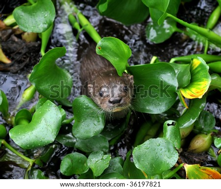 giant river otter looking from between river plants, tortuguero nat park, costa rica, central america. exotic mammal weasel in tropical jungle river stream - stock photo