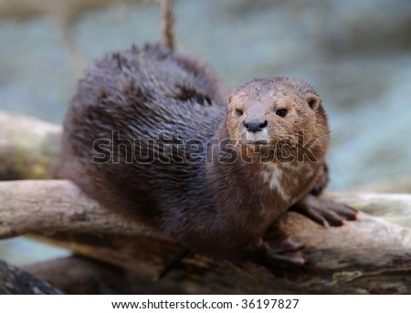 giant river otter sitting on tree branch, costa rica - stock photo