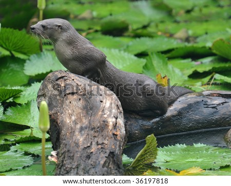 giant river otter standing on submerged tree, tortuguero national park, costa rica - stock photo