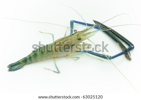 Giant river prawn - stock photo