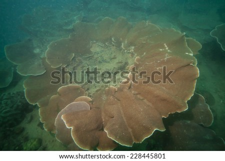 Giant rose coral - stock photo