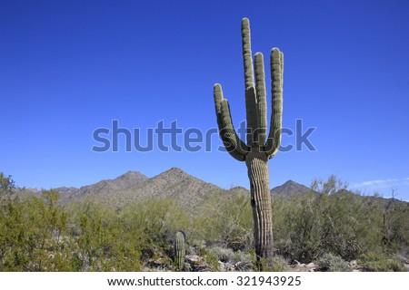Giant Saguaro Cactus - stock photo