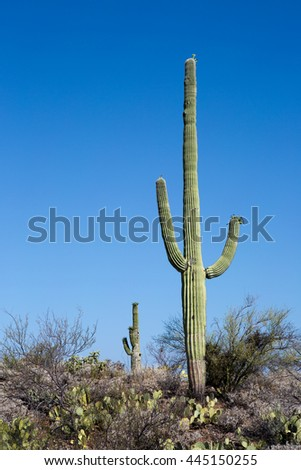 Giant saguaro cactus growing in Saguaro National Park in the Sonoran Desert, Arizona, USA.