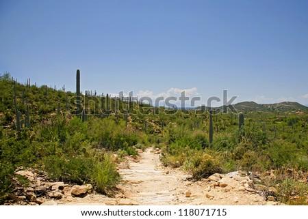 Giant Saguaro Cactus Landscape , Saguaro National Park, Sonoran Desert, Tucson, Arizona - stock photo