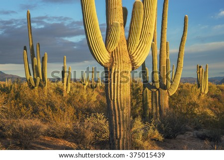 Giant Saguaro Cactus near Phoenix, Arizona. - stock photo