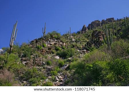 Giant Saguaro Cactus, Saguaro National Park, Sonoran Desert, Tucson, Arizona 2 - stock photo