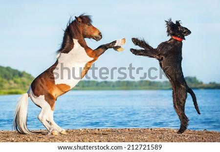 Giant schnauzer dog playing with painted shetland pony - stock photo
