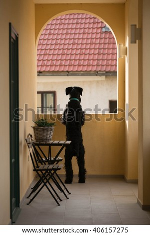 giant schnauzer on balcony