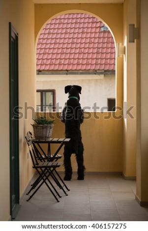 giant schnauzer on balcony - stock photo