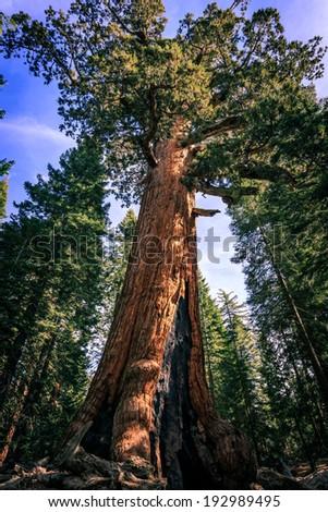 Giant Sequoia, Mariposa Grove, Yosemite National Park, California - stock photo
