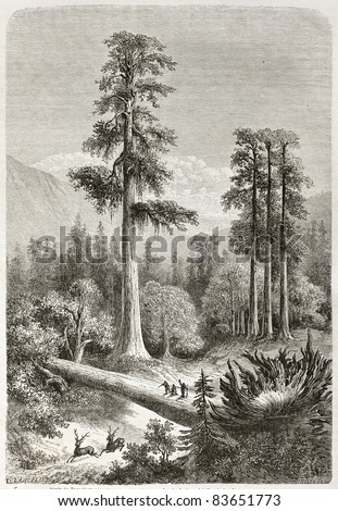 Giant Sequoia old illustration (Sequoiadendron giganteum). Created by Lancelot, published on Le Tour du Monde, Paris, 1860 - stock photo