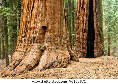 Giant Sequoia, Sequoia NP - stock photo
