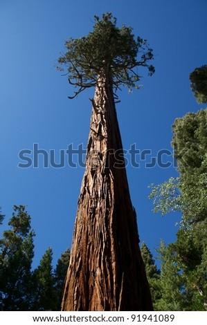 Giant Sequoia tree in Yosemite National Park - stock photo