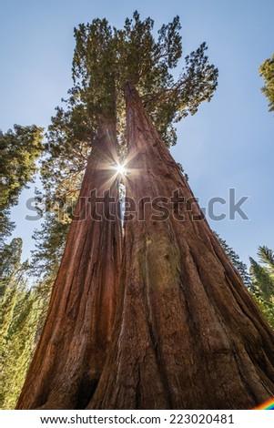 Giant sequoia trees - stock photo