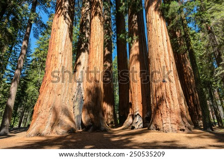 Giant sequoia trees in Sequoia National Park, California - stock photo