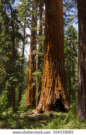 Giant Sequoias at Mariposa grove, Yosemite, California. - stock photo