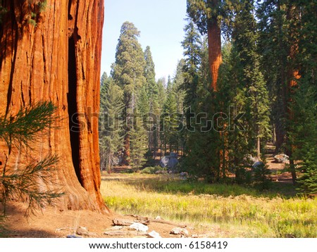 Giant sequoias on the edge of a meadow in Sequoia National Park - stock photo