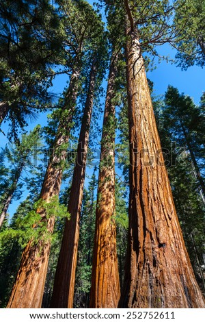Giant Sequoias, The Bachelor and Three Graces, Mariposa Grove, Yosemite National Park - stock photo