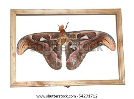 giant silkworm moth Attacus atlas in specimen box - stock photo