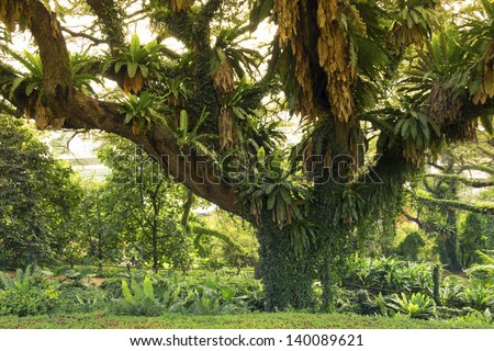 giant spreading tree in green tropical park in Singapore - stock photo