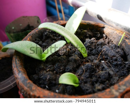 Giant Squill Seedling in flowerpot