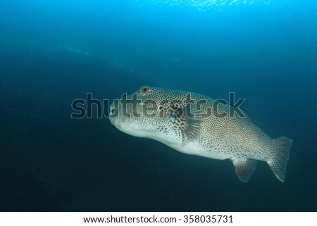 Giant Starry Puffer fish