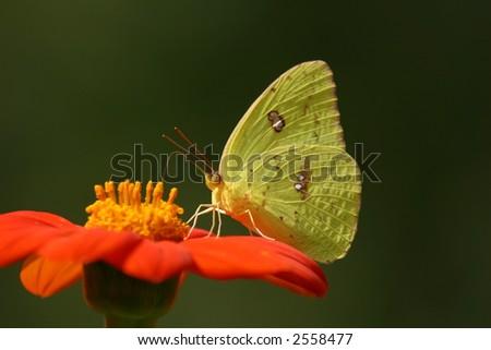 Giant Sulphur Butterfly - stock photo