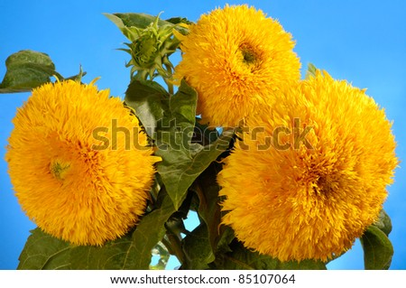 Giant Sungold hybrid sunflowers - Helianthus annuus - Sungold Teddy Bear sunflowers - stock photo