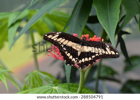 Giant swallowtail butterfly lands on a nectar patch in the gardens. - stock photo