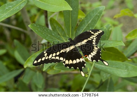 Giant swallowtail butterfly on plant - stock photo