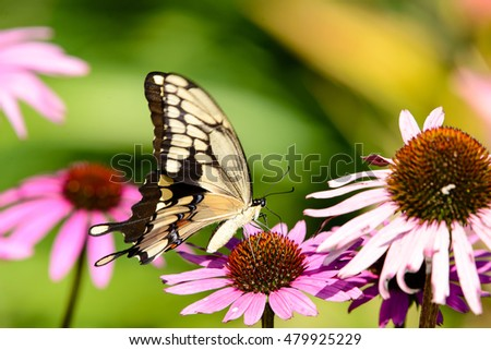 GIANT SWALLOWTAIL BUTTERFLY ON PURPLE CONE FLOWER