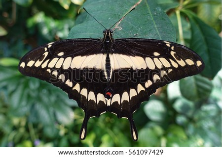Giant swallowtail butterfly Papilio cresphontes