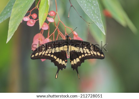 Giant Swallowtail butterfly (Papilio cresphontes) feeding on white wildflowers. Natural green background. - stock photo