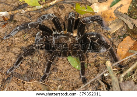 Giant Tarantula (Pamphobeteus sp.) in Tambopata National Reserve, Peru - stock photo