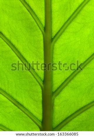 Giant Taro plant leaf also known as:Alocasia machrorhiza,Dieffenbachia (Dumb Cane), Elephant Ear, Cunjevoi for pattern, background or texture - stock photo