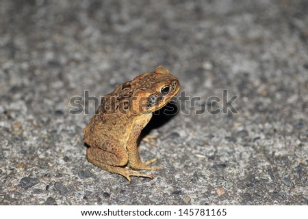 Giant  toad (Rhinella marinus) in Japan