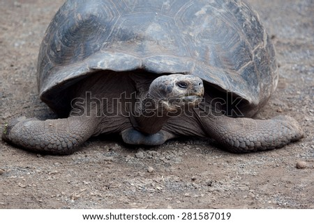 Giant tortoise at Isabela Island, Galapagos Islands, Ecuador, Pacific, South America, May 2015   - stock photo
