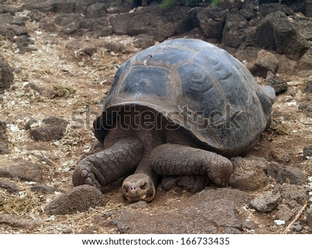 Giant tortoise at the Charles Darwin Research Station on Santa Cruz Island in the Galapagos chain, Ecuador - stock photo
