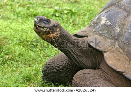 Giant tortoise feeding on Santa Cruz Island, Galapagos