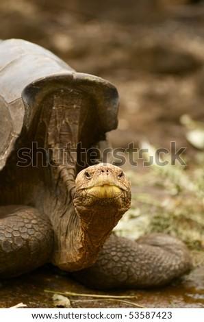 Giant Tortoise Galapagos Islands - stock photo