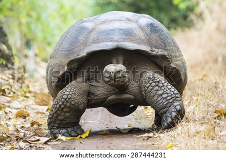 Giant tortoise in El Chato Tortoise Reserve, Galapagos islands (Ecuador) - stock photo