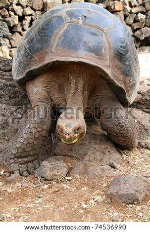 Giant Tortoise in Motion - Galapagos Islands - stock photo