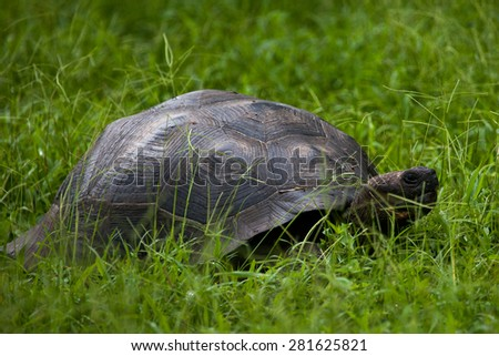 Giant tortoise on the grass at Galapagos Islands, Ecuador, Pacific, South America   - stock photo