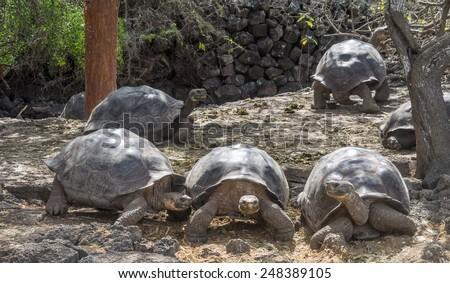 Giant Tortoise - Santa Cruz Island Galapagos National park Ecuador - stock photo